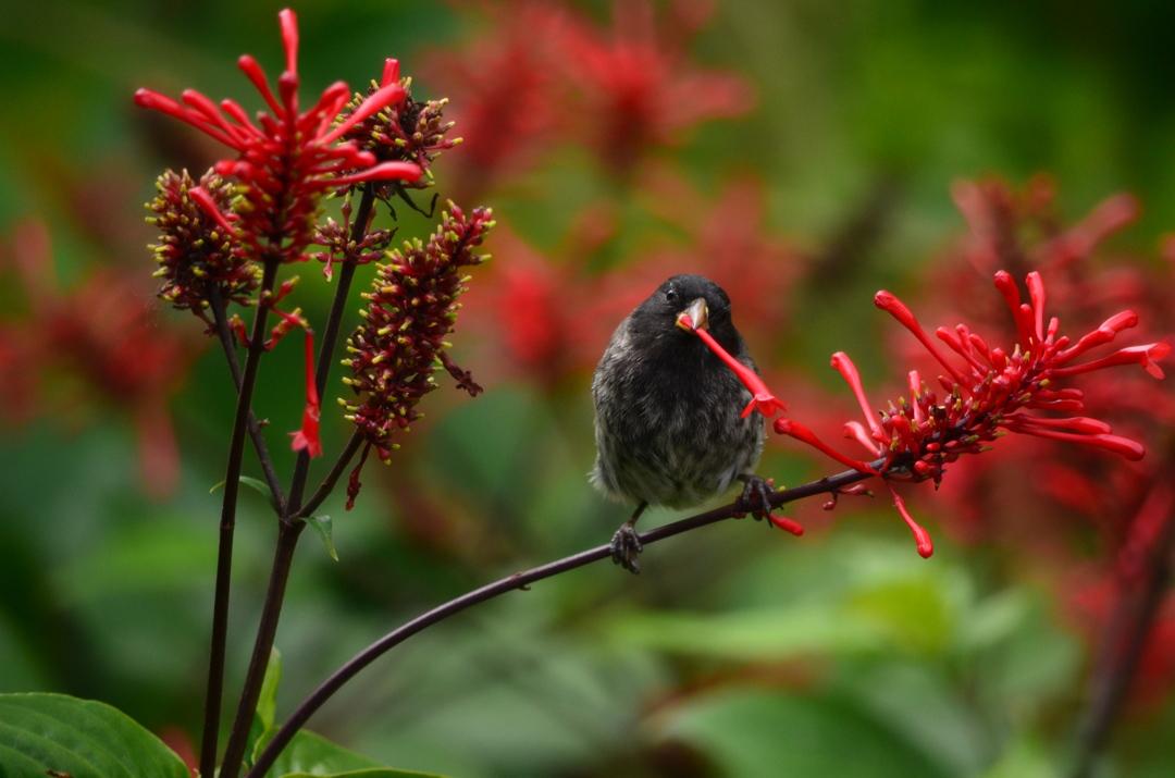 2η θέση στην κατηγορία Birds of Galapagos / Σπίνος