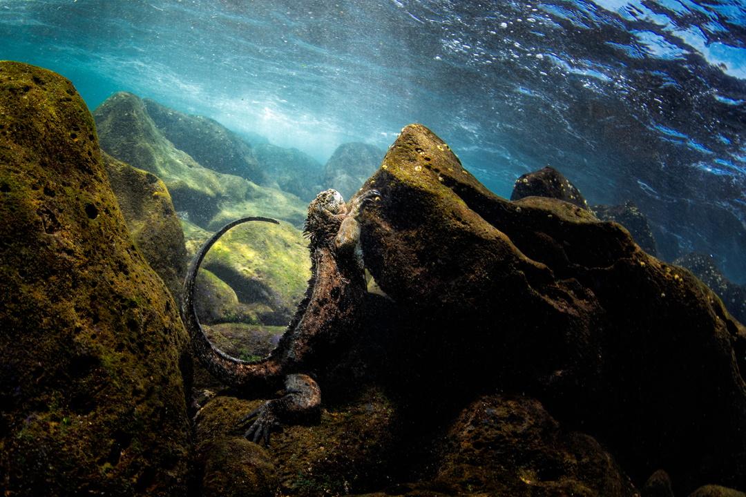 2η θέση στην κατηγορία Coastal and Marine / Θαλάσσιο ιγκουάνα των Γκαλάπαγκος
