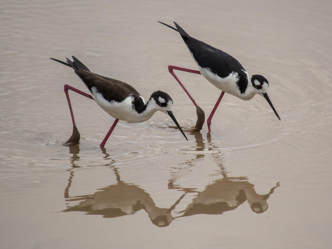 3η θέση στην κατηγορία Birds of Galapagos / Καλαμοκανάς Μαυρολαίμης