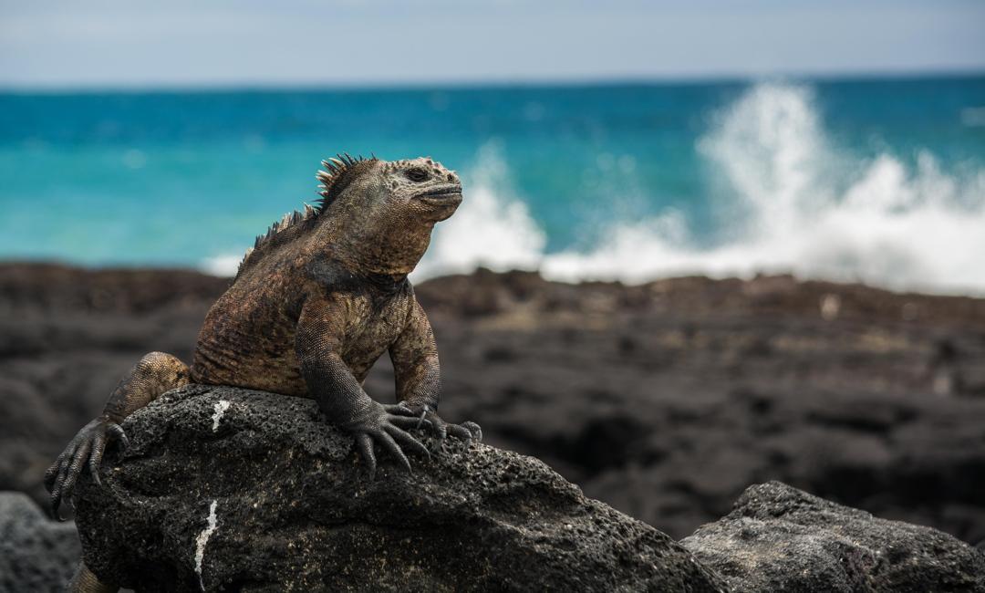 3η θέση στην κατηγορία Coastal and Marine / Θαλάσσιο ιγκουάνα των Γκαλάπαγκος