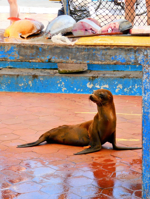 3η θέση στην κατηγορία Urban Life / Φώκια των Γκαλάπαγκος στην Isabela