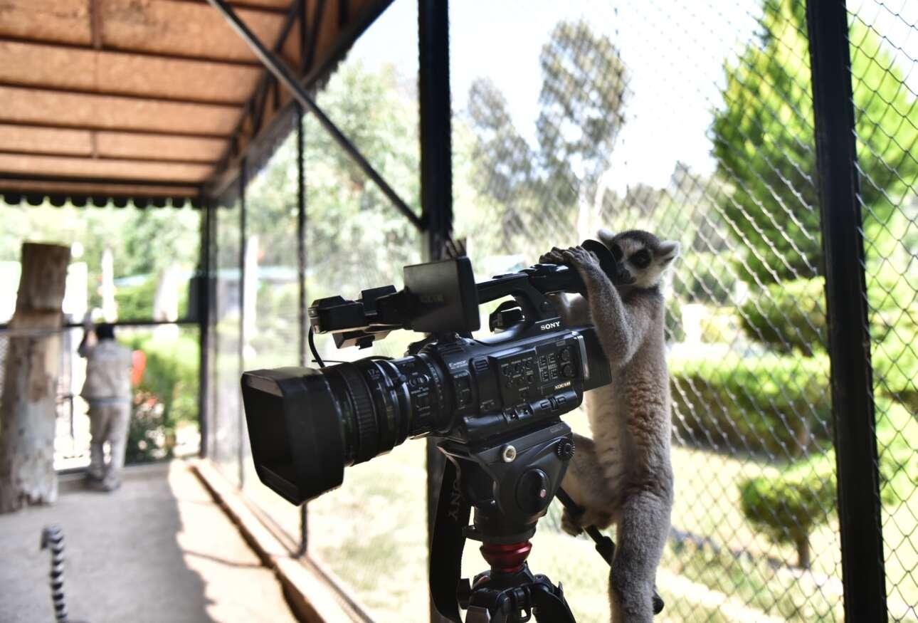 Μερσίνη, Τουρκία. Φιλοπερίεργος λεμούριος του τοπικού ζωολογικού πάρκου παίζει με μία κάμερα και αναρωτιέται για ποιον λόγο τα δίποδα χρειάζονται αυτό το μαραφέτι για να βλέπουν. Μάτια δεν έχουν; Τι τα κάνουν;