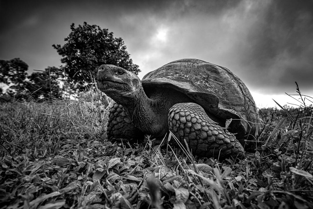 Συνυποψήφια συμμετοχή για τη 2η θέση στην κατηγορία Up Close and Personal / Γιγάντια χελώνα των Γκαλάπαγκος