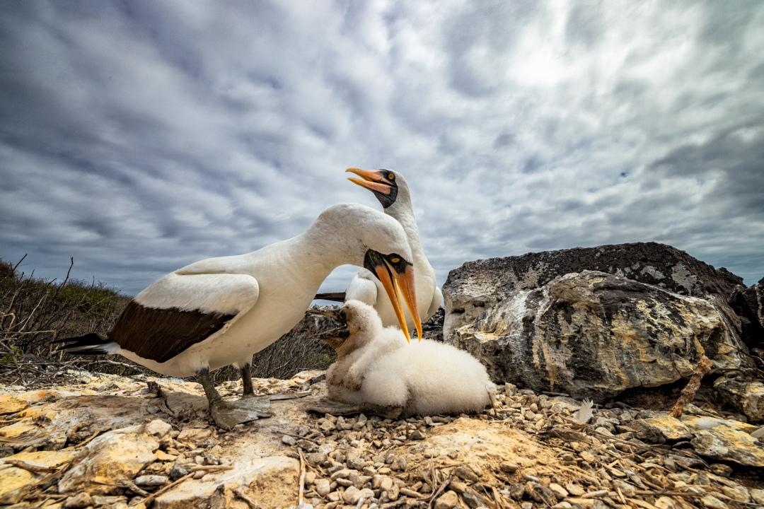 1ο βραβείο διαγωνισμού & 1η θέση στην κατηγορία Birds of Galapagos / Σούλες στη Nazca