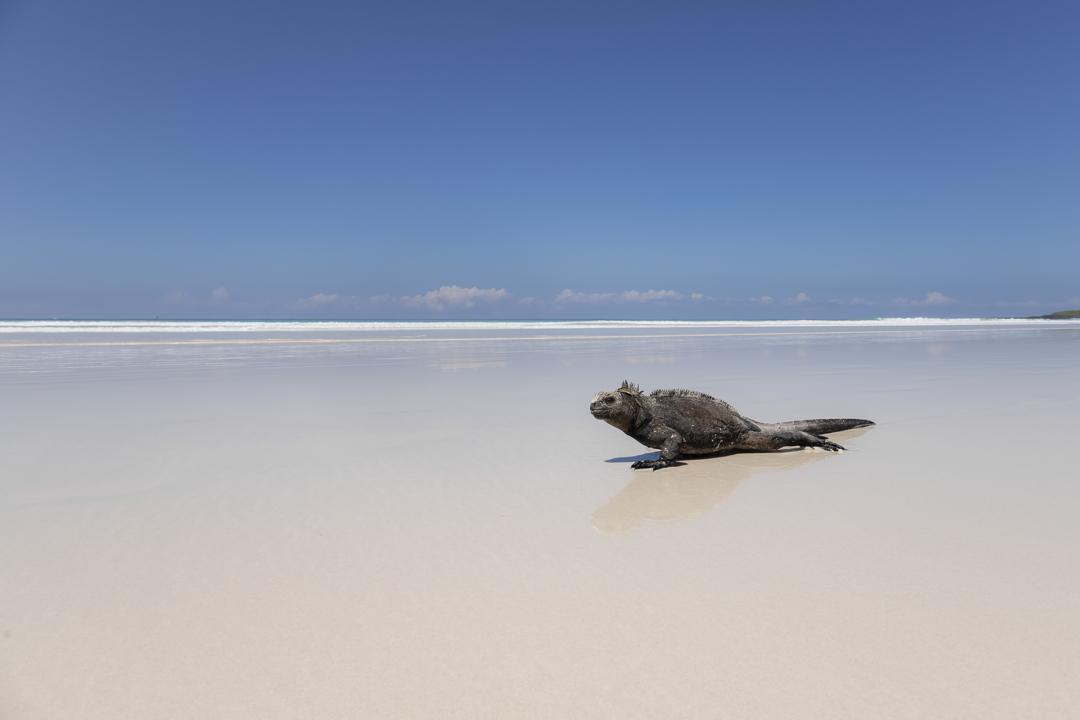 3ο βραβείο διαγωνισμού & 1η θέση στην κατηγορία Coastal and Marine / Ιγκουάνα των Γκαλάπαγκος