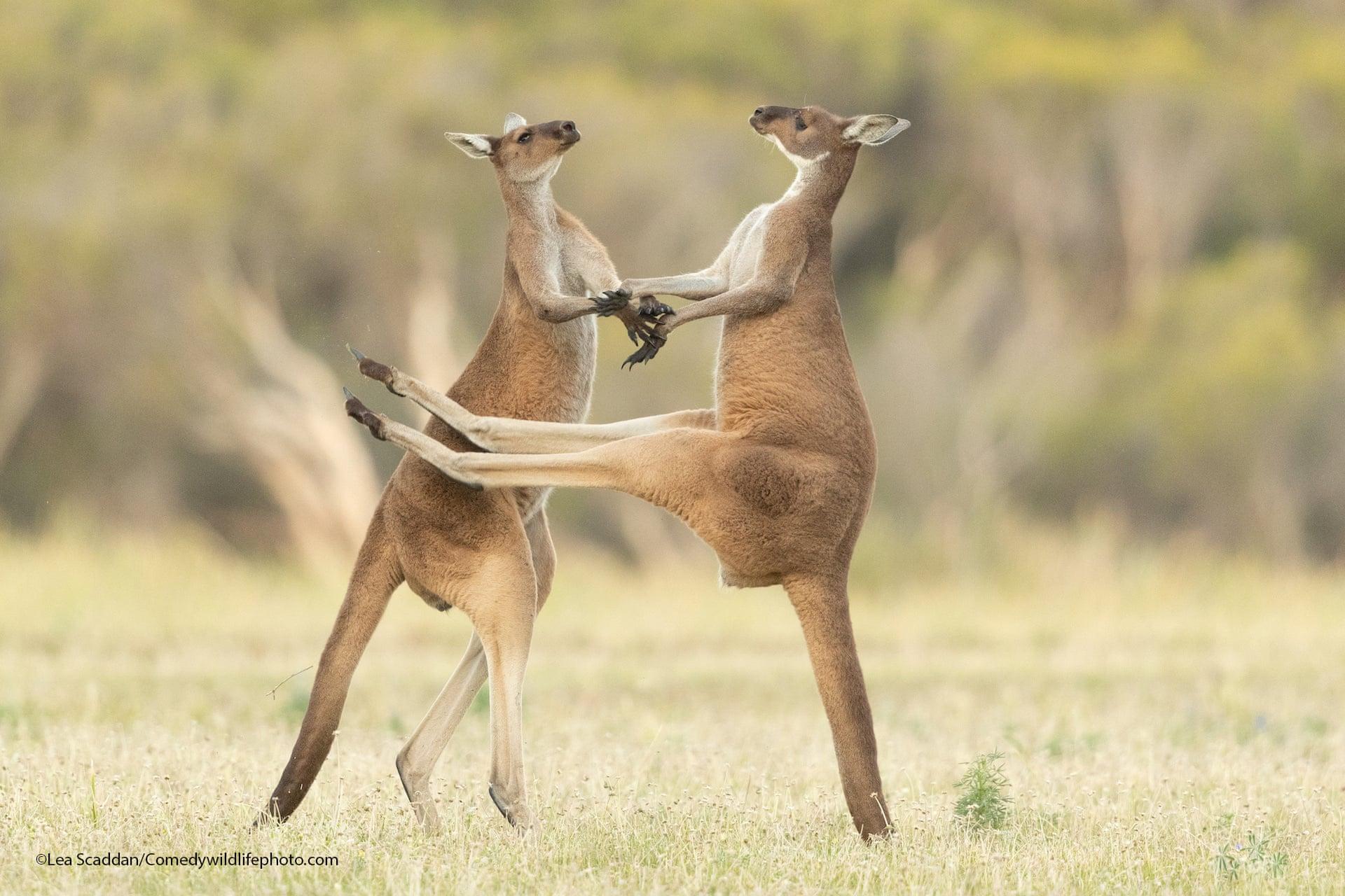 Γκρίζα καγκουρό στην «Αγρια Δύση» του Περθ, στην Αυστραλία