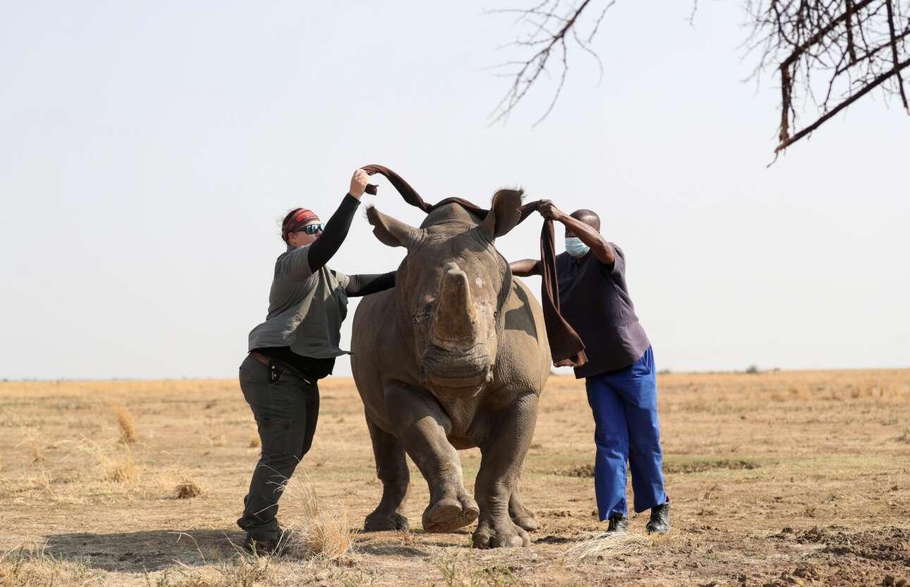 Ο κτηνίατρος και ο βοηθός του παλεύουν να δέσουν τα μάτια του ναρκωμένου ρινόκερου σε ένα ιδιωτικό καταφύγιο ζώων της Νότιας Αφρικής, με σκοπό να του αφαιρέσουν το κέρατο