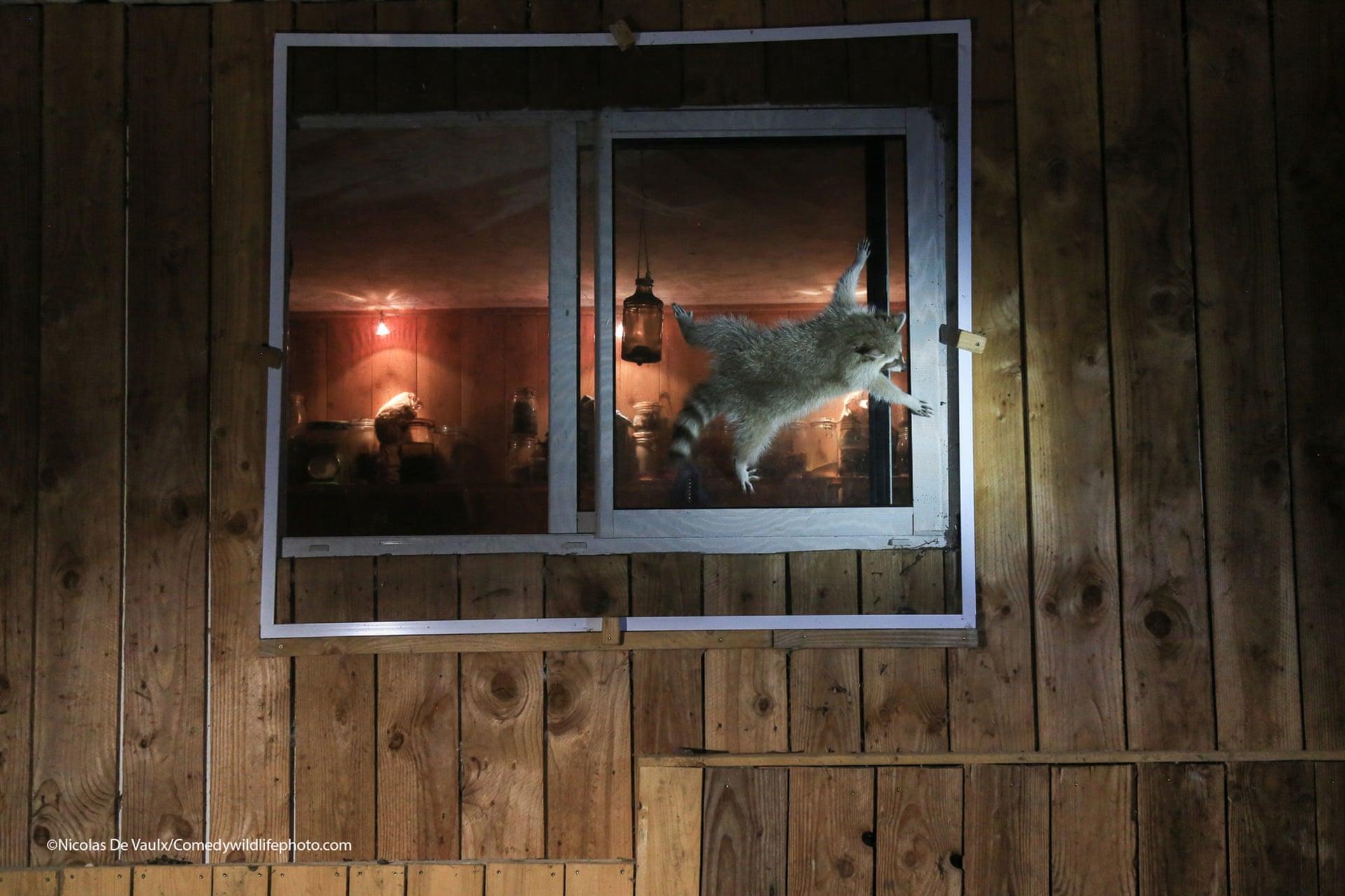Ενα ρακούν προσπαθεί να ανοίξει το παράθυρο εξοχικής κατοικίας στη Γαλλία
