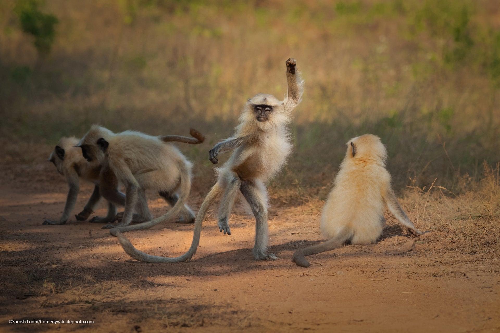 Μαϊμούδες με μακριά ουρά διασκεδάζουν στο καταφύγιο τίγρεων Ταντόμπα Αντάρι, στην Ινδία