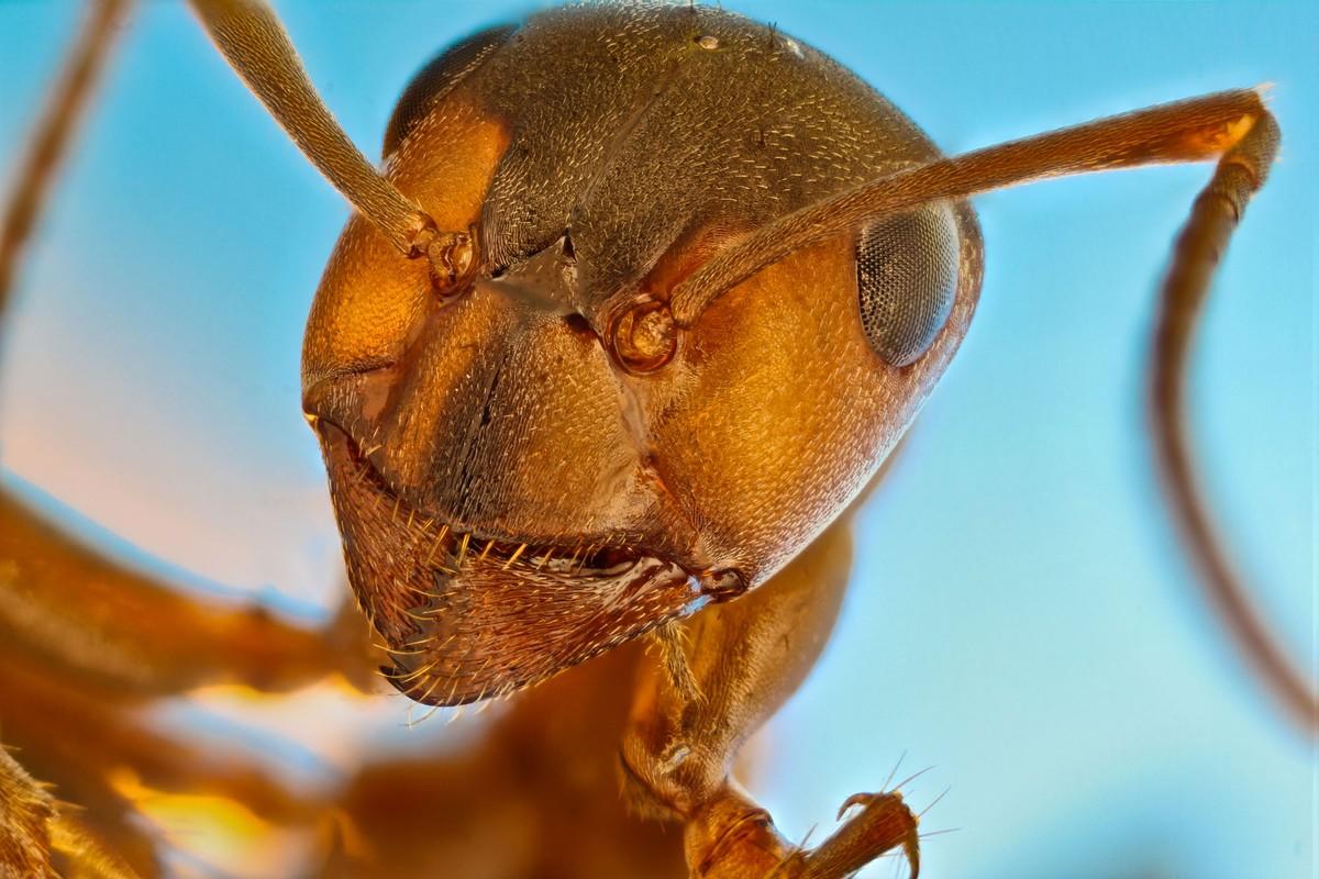 Φιλικό ή όχι; Εύφημος μνεία για το κεφάλι ενός κόκκινου μυρμηγκιού (Formica rufa)
