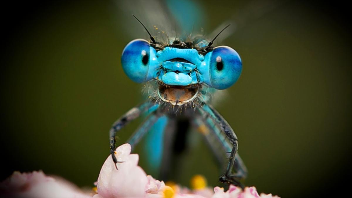 Οι λιβελούλες είναι από τα πιο γρήγορα έντομα στη φύση αλλά και εξαιρετικός κυνηγός. Μια λιβελούλα στη Γερμανία ποζάρει στον φωτογραφικό φακό και μοιάζει σαν να χαμογελάει