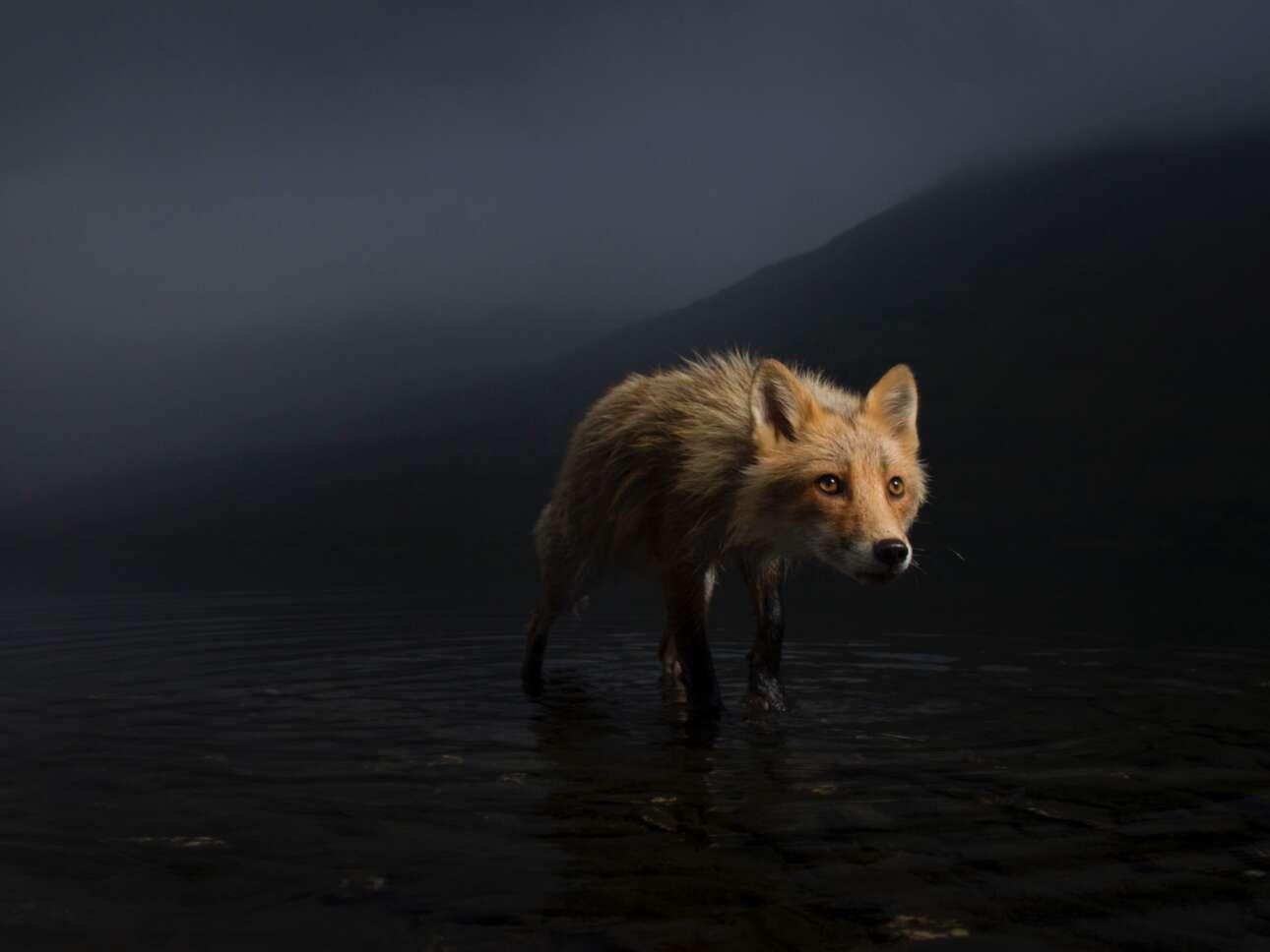 Ο αμερικανός φωτογράφος Τζόνι Άρμστρονγκ φωτογράφισε μια αλεπού η οποία αναζητούσε κουφάρια σολομών σε μια περιοχή της Αλάσκας