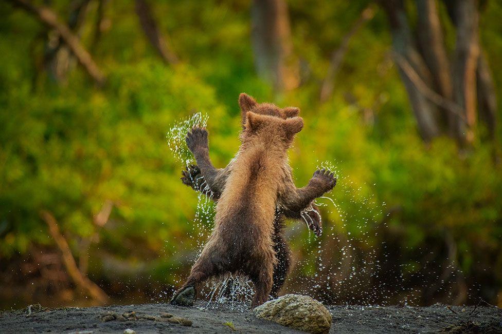 Δύο νεαρές καφέ αρκούδες παίζουν μέσα στο νερό με τον φωτογράφο να καταγράφει μια στιγμή στην οποία το παιχνίδι μοιάζει με χορευτική κίνηση