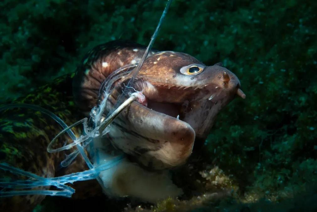 Το πρώτο βραβείο στην κατηγορία «Φωτογράφος Διατήρησης της Φύσης» κέρδισε η φωτογραφία με μια νεκρή σμέρνα που έχει δαγκώσει το αγκίστρι παρατημένου αλιευτικού εξοπλισμού στο Μποντρούμ, στην Τουρκία