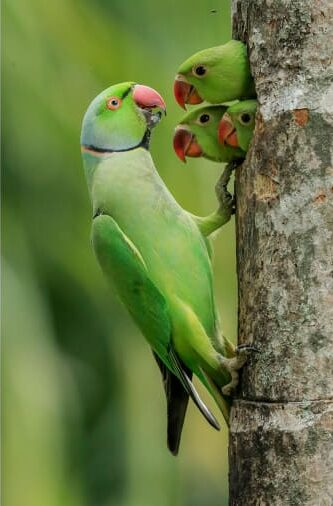 Φωτογράφος στη Σρι Λάνκα κατέγραψε με τον φακό του ένα παπαγάλο του είδους parakeet να προσπαθεί να ταΐσει τα τρία μικρά του.