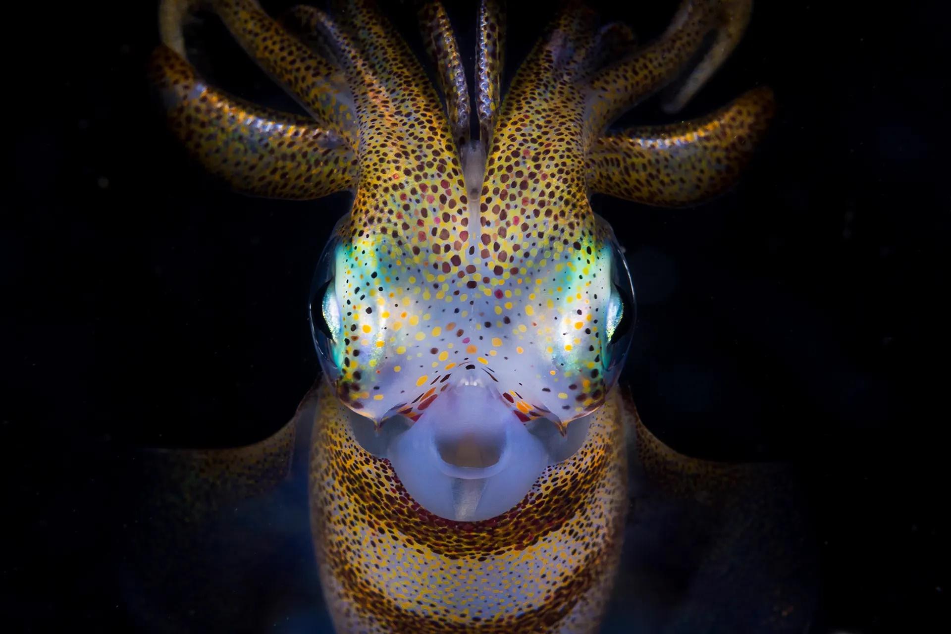 Tην τρίτη θέση στην κατηγορία «Εξερευνητής Φωτογράφος» πήρε η φωτογραφία του καλαμαριού Sepioteuthis australis σε μια θαλάσσια περιοχή της Νέας Νότιας Ουαλίας, στην Αυστραλία