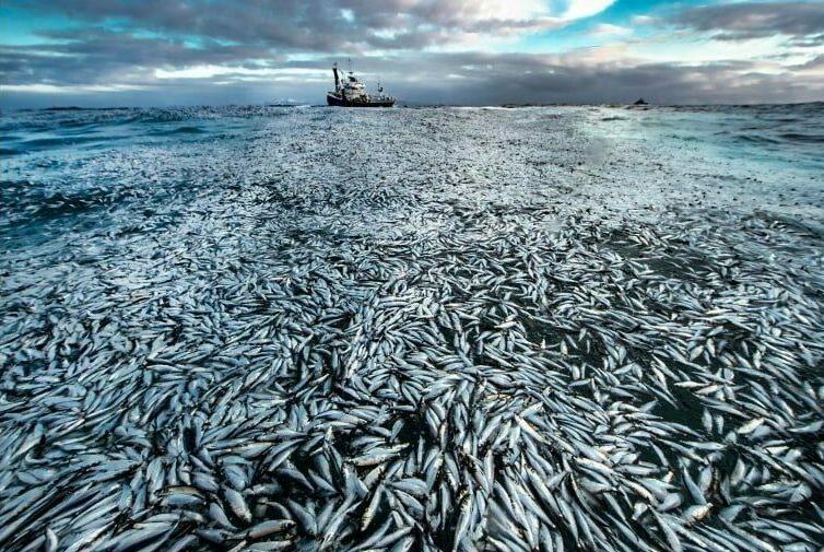O νορβηγός φωτογράφος Άουντουν Ρίκαρντσεν τράβηξε αυτή τη φωτογραφία στην οποία εικονίζονται χιλιάδες νεκρές και ετοιμοθάνατες ρέγκες οι οποίες αποτελούσαν την ψαριά του αλιευτικού σκάφους που εικονίζεται στο βάθος. Όμως τα δίχτυα στα οποία είχαν πιαστεί τα ψάρια άνοιξαν με το αποτέλεσμα να αποτυπώνεται στην εντυπωσιακή εικόνα. Η φωτογραφία αυτή χρησιμοποιήθηκε στη δίωξη που έγινε στη συνέχεια στον ιδιοκτήτη του αλιευτικού για το περιστατικό.