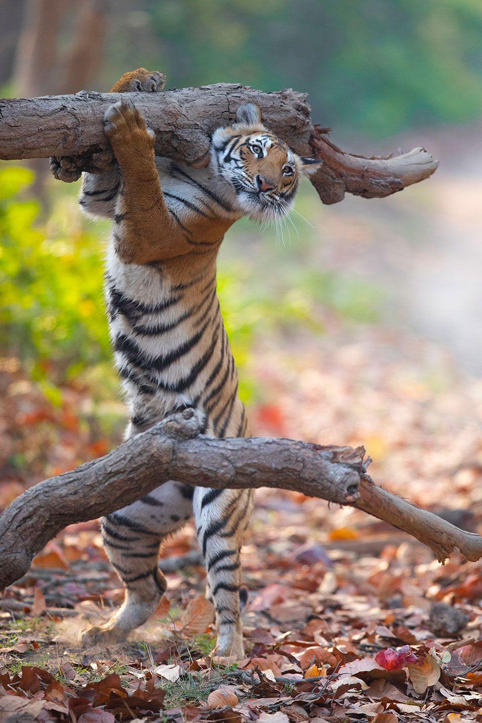 Σπάνια εικόνα με μια τίγρη να μοιάζει σαν να μεταφέρει ένα κορμό δέντρου. Κάποιοι που είδαν την φωτογραφία είπαν ότι θα χρησιμοποιήσει τον κορμό για να ενισχύσει τη φωτιά σε κάποιο… μπάρμπεκιου που έχει στήσει για να φάει ένα θήραμα της
