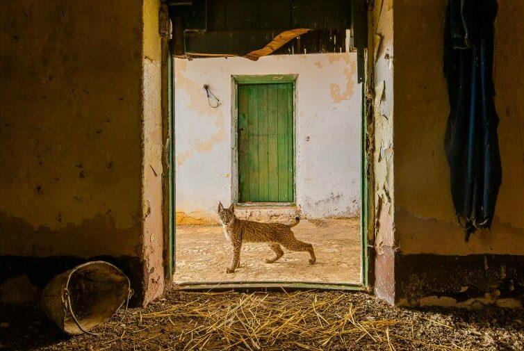 Ένας ιβηρικός λύγκας φωτογραφίζεται έξω από εγκαταλειμμένο αχυρώνα στην περιοχή Sierra Morena της Ισπανίας.