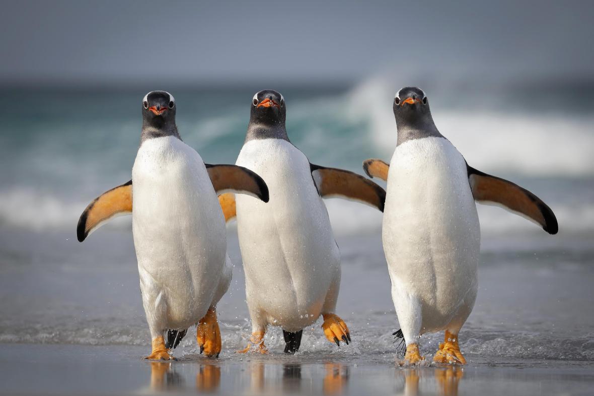 Παρέα πιγκουΐνων στα νησιά Φόκλαντ ποζάρει στον φωτογραφικό φακό με μια συντονισμένη κίνηση που μοιάζει με χορευτική φιγούρα