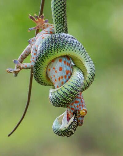 O Γούει Φου από την Ταϊλάνδη κατέγραψε με τον φακό του την μάχη ανάμεσα σε ένα δηλητηριώδες φίδι που του αρέσει να κινείται πάνω στα δέντρα και σε μια σαύρα γκέκο.