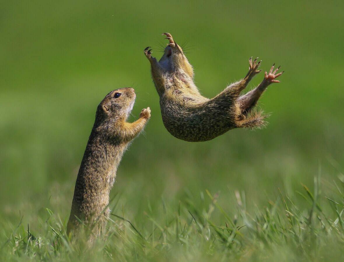 Δύο σκίουροι ενός είδους που ζει κυρίως στο έδαφος και δεν ανεβαίνει σε δέντρα παίζουν και ο ένας κάνει εναέρια άλματα