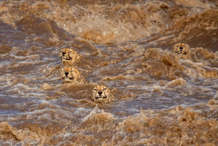 O φωτογράφος Μπουντχιλίνι ντε Σόουζα κατέγραψε στον φωτογραφικό του φακό την αγωνιώδη προσπάθεια μιας ομάδας αρσενικών τσιτάχ να καταφέρουν να επιβιώσουν μέσα σε έναν πλημμυρισμένο ποταμό στην Κένυα.
