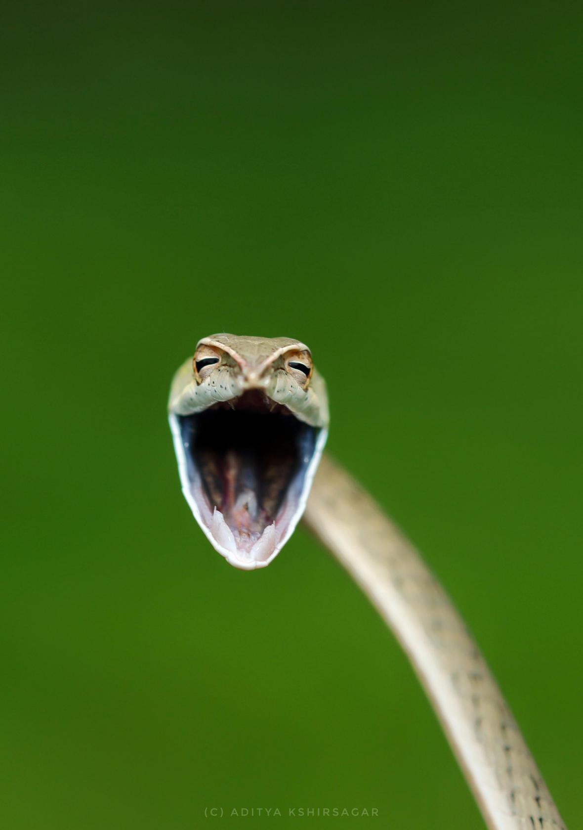Ένα πράσινο φίδι του αμπελιού μοιάζει να ποζάρει στο φωτογραφικό φακό γελώντας αν και στην πραγματικότητα πρόκειται για επιθετική κίνηση