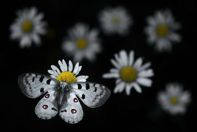 Πεταλούδα του είδους Apollo έχει προσγειωθεί πάνω σε μια μαργαρίτα στο πάρκο Haut-Jura στην ανατολική Γαλλία.