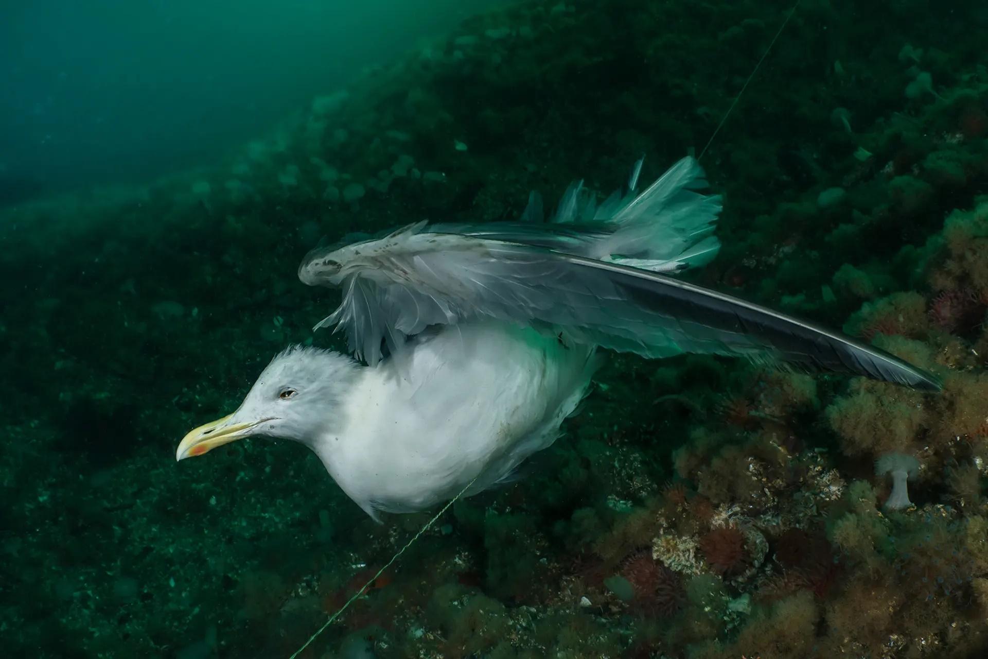 Η φωτογραφία του γλάρου που έχει πιαστεί σε παλιά πετονιά κέρδισε τη δεύτερη θέση στην κατηγορία «Φωτογράφος Διατήρησης της Φύσης»