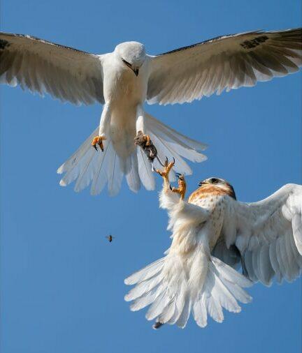 O αμερικανός φωτογράφος Τζακ Ζι φωτογράφισε ένα γεράκι με λευκή ουρά που προσπαθεί να πιάσει στον αέρα ένα ζωντανό ποντίκι το οποίο του δίνει ο πατέρας του