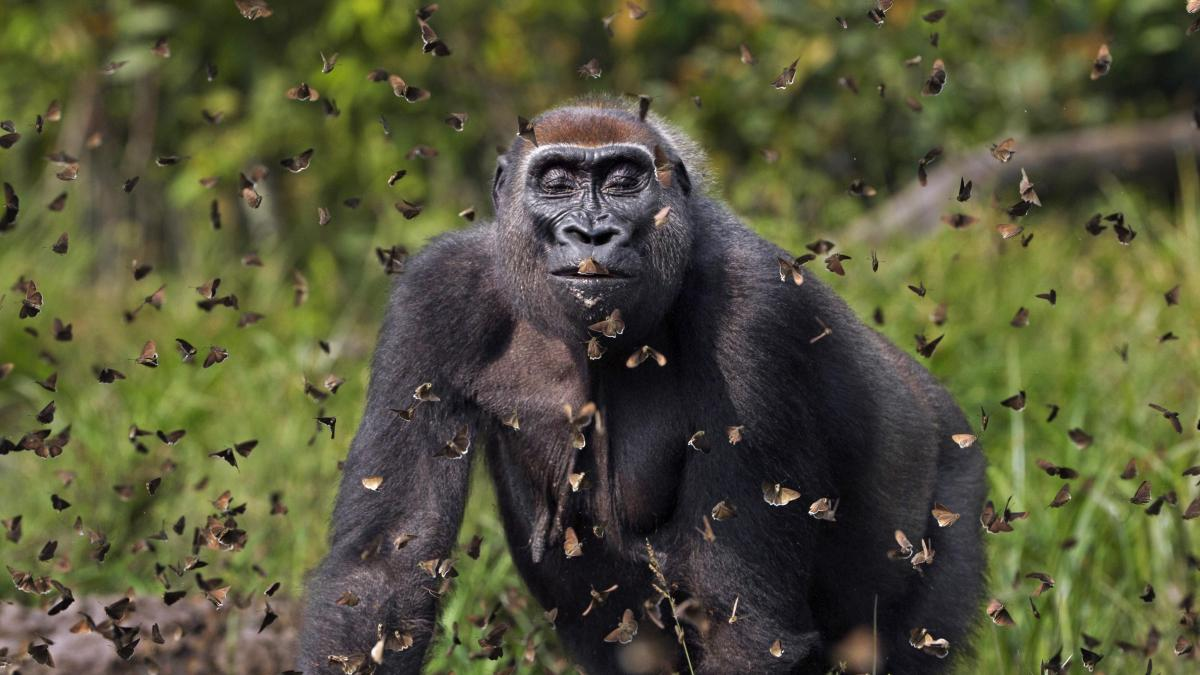 Ο βρετανός φωτογράφος Ανουπ Σαχ κέρδισε το μεγάλο βραβείο για την εικόνα ενός γορίλα της δυτικής πεδιάδας που ονομάζεται Μαλούι μέσα σε ένα σύννεφο πεταλούδων που έχει ενοχλήσει, στο δασικό καταφύγιο ζώων Dzanga Sangha, στην Κεντροαφρικανική Δημοκρατία