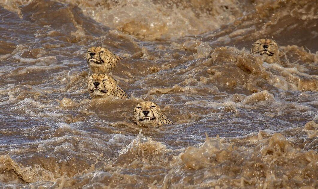 Την πρώτη θέση στην κατηγορία της Αγριας Ζωής κατέκτησε ο Μπουντιλίνι ντε Σόουζα από την Αυστραλία, ο οποίος είπε. «Οι βροχοπτώσεις στο Μασάι Μάρα της Κένυας τον Ιανουάριο του 2020 μετέτρεψαν σε άγριο χείμαρρο έναν από τους μεγαλύτερους και συνήθως ήρεμους ποταμούς. Η μοναδική καταγεγραμμένη